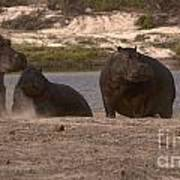 Hippos And Baboons Poster