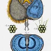 Historical Illustration Of Honey Bee Eye Poster