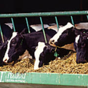 Holstein Dairy Cows Poster by Photo Researchers