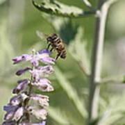 Honey Bee In Flight On Lavender Poster