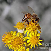 Honey Bee Poster