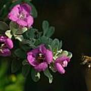Honey Bees On Sage 2 Poster