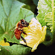 Honeybee And Cantalope Poster
