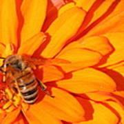Honeybee On An Orange Zinnia Poster