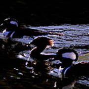 Hooded Mergansers And Moon Glare Poster