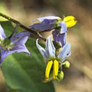 Horse Nettle Nightshade - Solanum Carolinense Poster