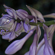 Hosta Blossoms With Dew Drops Poster