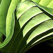 Hosta Leaf Poster