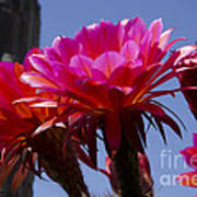 Hot Pink Cactus Flowers Poster