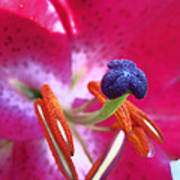 Hot Pink Lilly Up Close Poster