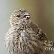 House Finch Profile Poster