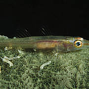 Hovering Goby On A Green Sponge, Fiji Poster