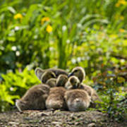 Huddled Goslings Baby Geese Along River's Edge Poster