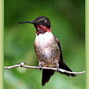 Hummingbird - Male - Will Soon Be Grown Poster