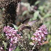 Hummingbird - Ruby-throated Hummingbird - Chopper Poster
