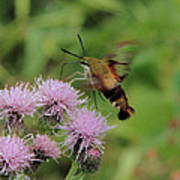 Hummingbird Clearwing Moth Poster