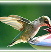 Hummingbird Eating Poster
