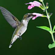 Hummingbird Feeding On Pink Salvia Poster