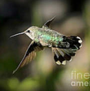 Hummingbird Fly By Poster