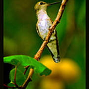 Hummingbird In Apricots Poster