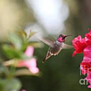 Hummingbird In Bougainvillea Poster