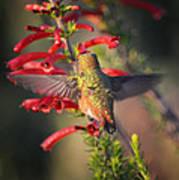 Hummingbird In Flight 1 Poster