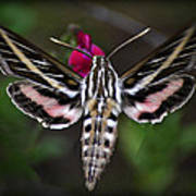 Hummingbird Moth - White-lined Sphinx Moth Poster