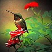 Hummingbird On The Rose Poster
