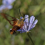 Hummingbird Or Clearwing Moth Din137 Poster