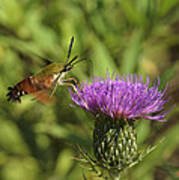 Hummingbird Or Clearwing Moth Din141 Poster