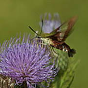 Hummingbird Or Clearwing Moth Din178 Poster
