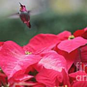 Hummingbird Over Poinsettias Poster