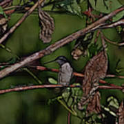 Hummingbird Waiting For Dinner Poster