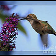 Hummingbird With Blue Border - Digital Painting Poster