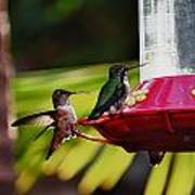Hummingbirds At The Feeder Poster