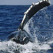 Humpback Whale Flipper Slap Hawaii Poster