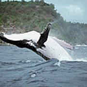 Humpback Whale Megaptera Novaeangliae Poster