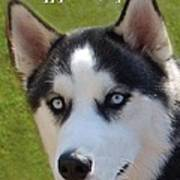 Husky Birthday  Poster by Aimee L Maher Photography and Art Visit ALMGallerydotcom