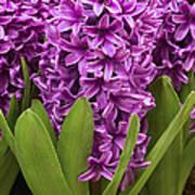 Hyacinth Hyacinthus Sp Miss Saigon Poster
