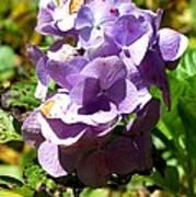 Hydrangea Bloom Poster by Beverly Hammond