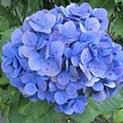 Hydrangea Flowerhead Poster