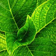 Hydrangea Leaves Poster