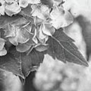 Hydrangeas In Black And White Poster