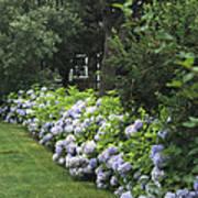 Hydrangeas In Bloom Along A Landscaped Poster