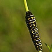 Hymenoptera Larva 2 Poster