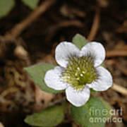 Hyoscyamus Flower Poster