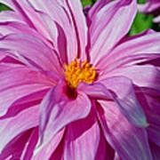 Ice Pink Dahlia Poster