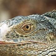 Iguana (iguana Iguana) Poster
