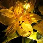 Illuminated Yellow Alstromeria Photograph Poster