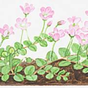 Illustration Of Anagallis Tenella (bog Pimpernel), Leaves And Pink Flowers Poster